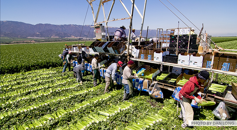 Farm field of lettuce with migrant workers loading trucks